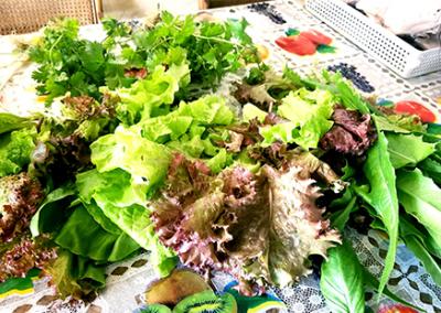 swn-salad-after-harvesting